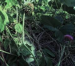 thistlebrush (LauraSorrells) Tags: pink wild favorite painterly green june jasper thistle meadow vivid crop summertime tangle 2011 tousle mineralspringsroadmeadow