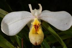 Paphiopedilum emersonii (Nurelias) Tags: orchid flower beautiful germany munich orchids nursery more greenhouse orquidea species orchidee