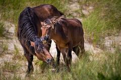 I Don't Want to Go Now! (jeff_a_goldberg) Tags: horse canada novascotia nationalgeographic wildhorse parkscanada loh sableisland feralhorse fishermansharbour sableislandhorse sableislandpony sableislandnationalparkreserve