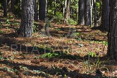 Pinheiros (Rita Barreto) Tags: natal flora natureza sombras rvores pinheiros pinus pinhas pinophyta