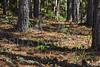 Pinheiros (Rita Barreto) Tags: natal flora natureza sombras árvores pinheiros pinus pinhas pinophyta