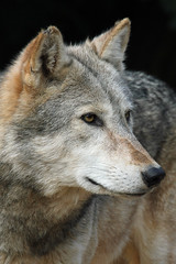 Timber Wolf (Buggers1962) Tags: portrait nature face animal closeup canon zoo wolf close wildlife colchester colchesterzoo whitewolf timberwolf greatphotographers impressedbeauty diamondclassphotographer flickrdiamond goldstaraward itsazoooutthere canon7d wolfpicture highqualityanimals