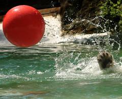 IMG_5814 (sandy richard) Tags: newyorkcity animals bears polarbear bronxzoo zoos animalsplaying sandyrichard sandrarichard