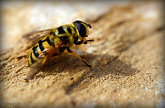 Totenkopfschwebfliege (wigerl - herwig ster) Tags: macro insect sony kärnten carinthia fliegen tiffen 30mm nex feldkirchen mistbiene sonynex7