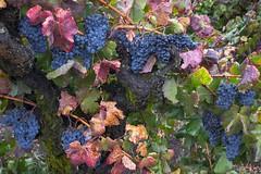 Early Rain #14 (Tom Moyer Photography) Tags: california rain vines grapes sonomacounty winecountry