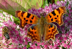 Comma (and a bee) (geoffspages) Tags: butterfly garden comma