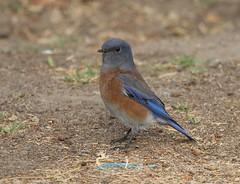 Little Boy Blue (Jim Farley) Tags: ca camp lake mexicana 26 september western pendleton bluebird oneill sialia 2013