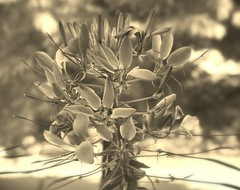Cleome (lynn.gardner) Tags: flowers gardening cleome