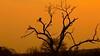 South Africa Sunrise (José Rambaud) Tags: buitremoteado vulture griffonvulture buitrederuppel gypsrueppellii sunrise sun africa afrika sudáfrica southafrica suidafrika arbol tree krugernationalpark mpumalanga mygearandme mygearandmepremium mygearandmebronze greatshot
