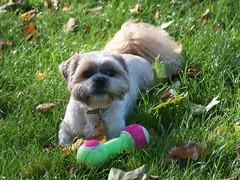 dog bristol shihtzu rory autumnleaves squeakytoy brandonhill