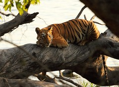 Showstopper (Albin Abraham Jacob) Tags: cat canon mammal wildlife tiger resting predator mammals tigress bengaltiger 100400 wildlifephotography pantheratigristigris tatr eos7d tadobaandharitigerreserve tadobalake