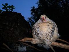 Baumschlfer wie ein Schneeeule (Bataah) Tags: henne baum hahn hhner schalf