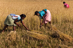 Harvest, Dumuriput (Marji Lang Photography) Tags: ocean travel india countryside women village rice indian sunny tribal ricefields orissa paddyfields harvesting bayofbengal riceharvest travelphotography republicofindia ef247028l indiansubcontinent koraput  canoneos5dmarkii odisha bhrat bhratgaarjya travelanddocumentaryphotography  marjilang dumuriput southorissa