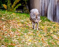 The Neighborhood Coyote 5 of 5 (efiske) Tags: coyote colorado wildlife urbanwildlife