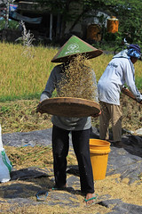 Rice Paddy's (Jade Higman) Tags: travel people bali hat canon indonesia asia tour rice paddy cycle local indo ricepaddy ubud