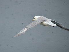 In flight (Pichote) Tags: bird iceland islandia ave fulmar pajaro islanda ucccello