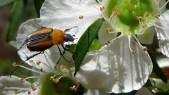 Flower Scarab (John Tann) Tags: december beetle australia nsw chafer coleoptera scarabaeidae 2013 melolonthinae cetoniinae flowerchafer taxonomy:order=coleoptera taxonomy:family=scarabaeidae sericini geo:country=australia phyllotocus flowerscarab honeyscarab taxonomy:genus=phyllotocus wollemiyengo