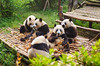 China, Luncheon of giant panda (O.Ped) Tags: china nature panda great chengdu giantpanda sichuan cina repubblicapopolarecinese giantpandabreedingandresearchbase southwestchinasichuanprovince