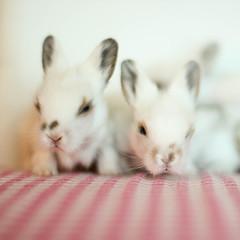 Baby bunnies (astakatrin) Tags: pink baby white black cute rabbit bunny little small ears tiny newborn lionhead