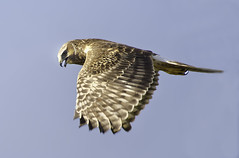 Harriet the Harrier Fly-By (billkominsky ) Tags: supershot avianexcellence coth5 sunrays5