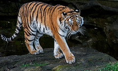 YWP: Amur Tiger (Tschuna) (Adrian.W) Tags: fur nikon feline stripes tiger bigcat endangered amurtiger ywp d5200 flickrbigcats yorkshirewildlifepark tschuna