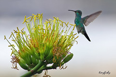 (154b) Narrow-tailed Emerald - [ Cartagena, Columbia ] (tinyfishy's World Birds-In-Flight) Tags: bird southamerica flying inflight hummingbird columbia cartagena emerald narrowtailed narrowtailedemerald narrowtailedhummingbird