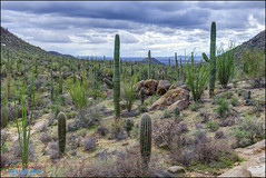 saguaros at saguaro national park, az (hakoar) Tags: life blue arizona cactus portrait plant nature us flora rocks colorful branch pattern view desert wildlife unitedstatesofamerica dry formation wilderness saguaro cactaceae spines plantae saguaronationalpark sonorandesert carnegieagigantea caryophyllales arborescent