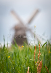 MHP_110613_7685.jpg (marc_homedes) Tags: mill nature windmill beautiful vertical contrast bread photography photo nice energy pretty shot natural wind wheat traditional farming picture craft ears bio ear spike strength organic sweetness spikes fieldcrops