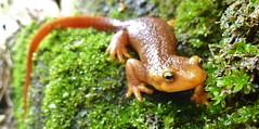 California Newt (Santa Monica Mountains National Recreation Area) Tags: animals native wildlife amphibians animalsandinsects