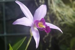 (ddsnet) Tags: plant orchid flower japan tokyo sony cybershot  nippon    nihon  flower      rx10  tkyto  japan    flowerinjapan