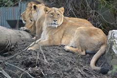 DSC_0472 - Asiatic Lions 'Iblis,' 'Kimuri' & 'Kumari' (102er) Tags: uk nature animal animals fauna zoo nikon wildlife lion chester tamron asiatic 70300 asiaticlion iblis flickrbigcats d3100