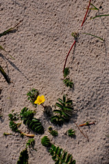 flr00105 (Ralf E. Drnbaum) Tags: strand sand natur blume sonne bltter schatten butterblume gewchs sandstrand wachstum sonnenstand