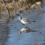 Lesser-Yellow-Legs(i-think)-2 thumbnail