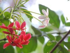 Rangoon Creeper () (Noble P Abraham) Tags: pink red india white flower kerala creeper rangoon kumbanad