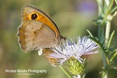Licor de cardo (Nicolas Moulin (Nimou)) Tags: macro fauna butterfly natura papillon mariposa lepidoptere