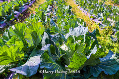 Harry_16626,,,,,,,,,,,,,,,,,,, (HarryTaiwan) Tags: taiwan vegetable  cabbage   d800                      harryhuang   hgf78354ms35hinetnet
