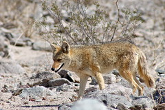 Coyote (Piedmont Fossil) Tags: california coyote park mammal wildlife national deathvalley canislatrans