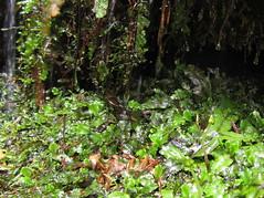 Conocephalum conicum (chaerea) Tags: canada nature forest woodland moss bc liverwort bryophyte bryophytes conocephalum conocephalumconicum