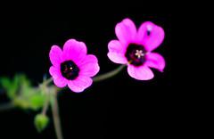 Two friend (Sougata2013) Tags: pink mountain flower macro nature closeup spring nikon small hill mandi hilltop himachalpradesh nikond3200 kamand