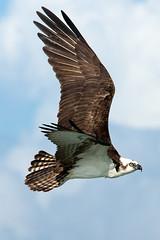 DSC_0810 (Liam Moya) Tags: mexico birds biosphere osprey