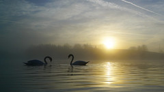 Spring is in the Air (Mark BJ) Tags: daisynook countrypark crimelake swan courtship sunrise mist reflection manchester oldham failsworth uk hollinwoodcanal spring cygnusolor muteswan waterfowl ethereal delicate misty