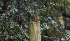 Robin (John R Woodward Photography) Tags: robin birds wildlife nature mothernature shropshire british britain canon canon6d canondslr canonllenses canon6dwithllenses canoneos llenses