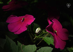 Blossoms, Buds, and Shadows (DGS Photography) Tags: missouri branson silverdollarcity flowers blossoms bud shadows leaves
