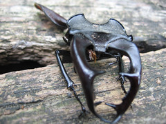 Egy szarvasbogár maradványai (jetiahegyen) Tags: rovar visegrádihegység túra túrázás kirándulás outdoot tour hiking insect