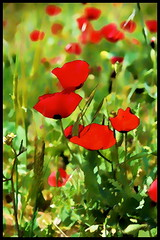 Welcome - First day of Spring... (Mike Goldberg) Tags: wildflowers red protected peragim papaver nikond5300 jerusalem mikegoldberg spring effects texture