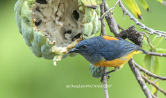 ORANGE-BELLIED FLOWERPECKER (@ChangLam PHOTOGRAPHY) Tags: bird animal featheredanimal flowerpecker orangebelliedflowerpecker changlamphotography warmblooded