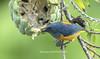 ORANGE-BELLIED FLOWERPECKER (@ChangLam PHOTOGRAPHY) Tags: bird animal featheredanimal flowerpecker orangebelliedflowerpecker changlamphotography warmblooded