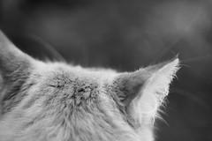 Kitdung (Kya Cookie) Tags: kitdung cat gingercat blackandwhite macro catmacro cateye catear whiskers