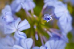 Blue & Green, 9.29.15 (pattyoboe) Tags: plumbago flora wgwalk
