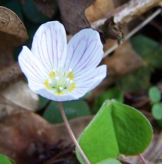 Wood Sorrel Oxalis acetossella (ERIK THE CAT Struggling to keep up) Tags: wildflowers norbury woods staffordshire oxalisacetossella doublefantasy